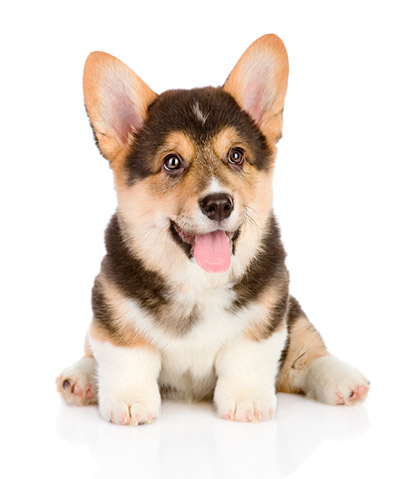 Image result for corgi pup