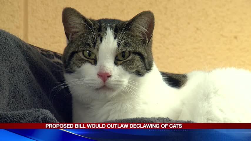 Cat declawing_71394510-159532