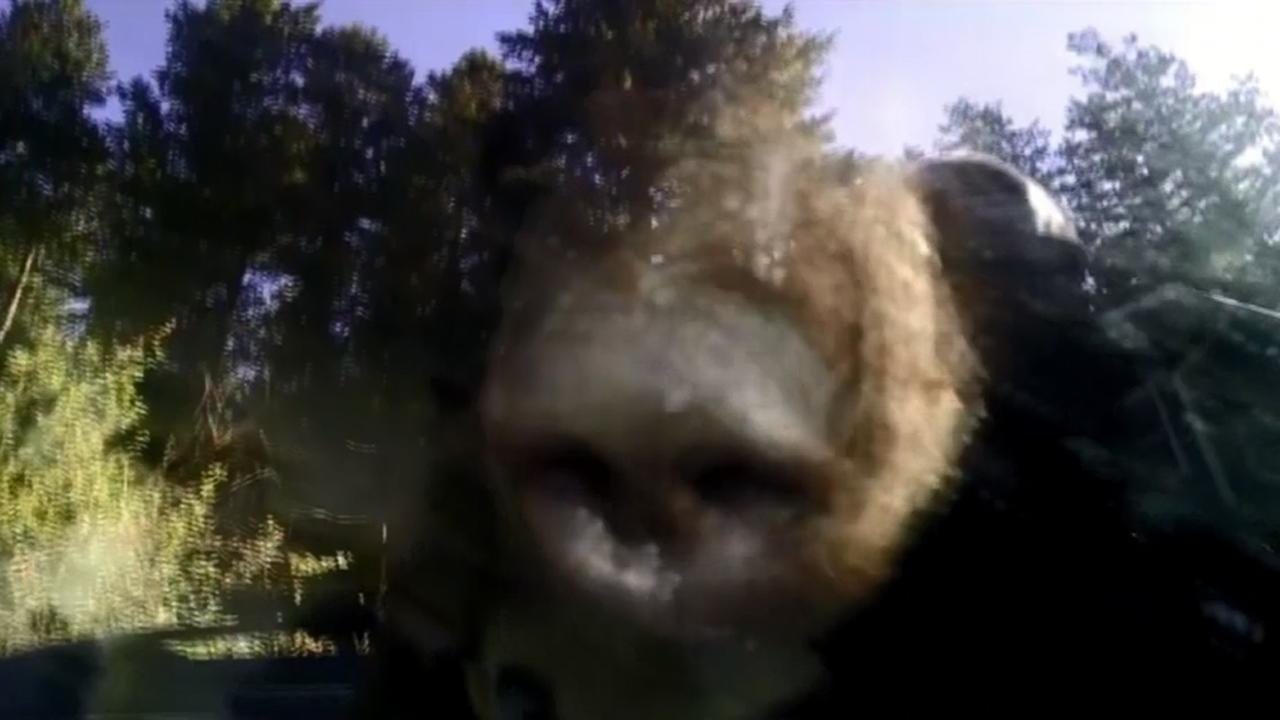 Bear locked in car-159532.jpg70499645