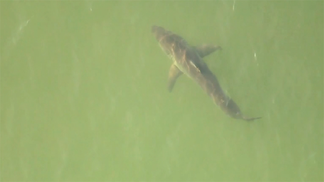 South Florida swimmer attacked by shark
