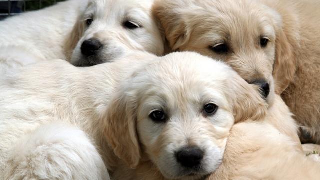 Puppies blurb_2647688290716641-159532