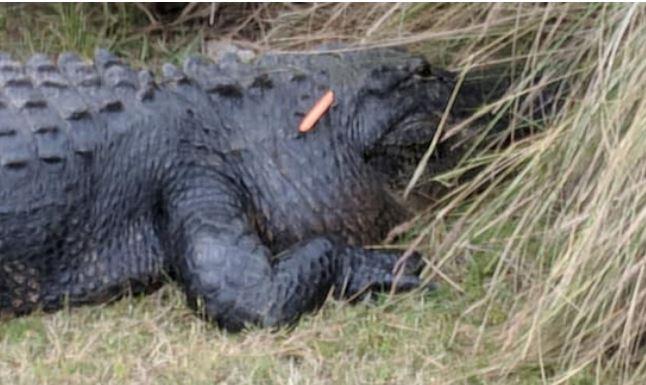 alligator_1523442596999.JPG