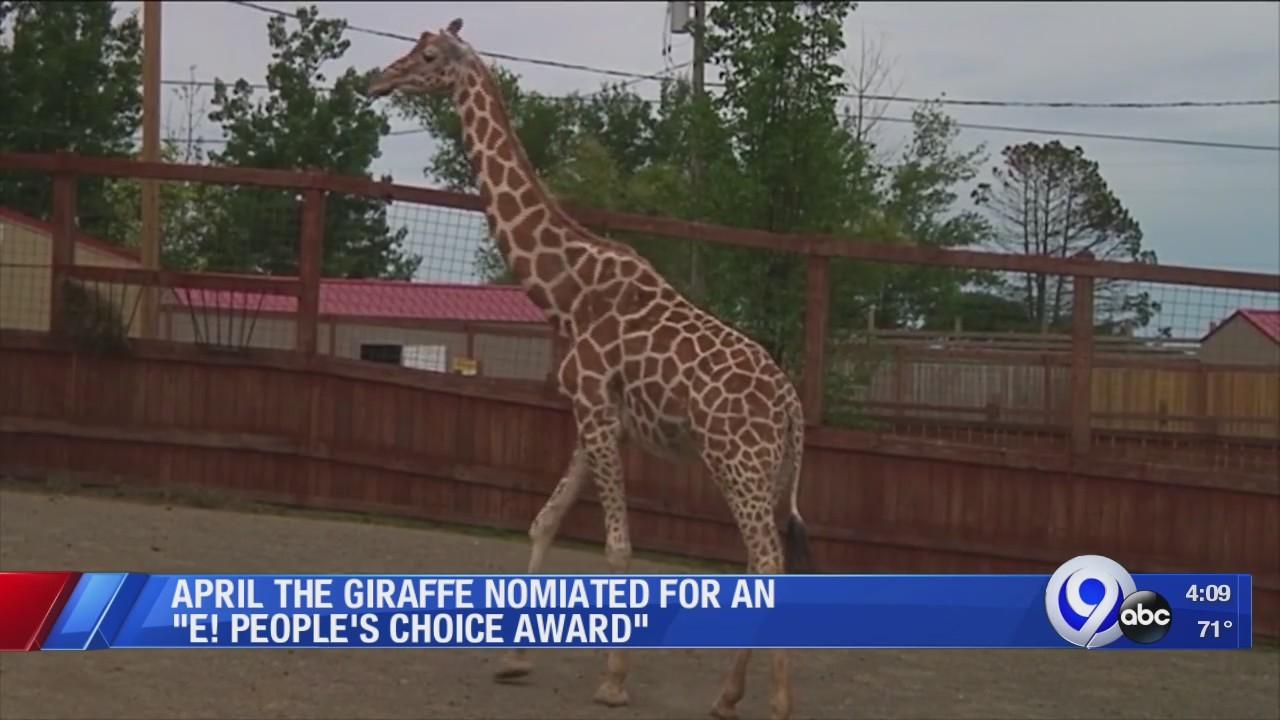 April_the_giraffe_back_in_the_spotlight_0_20180926205748