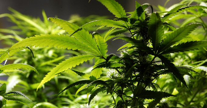 Marijuana weed pot image_1551443940486.jpg-118809282.jpg