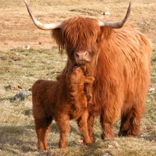 Highland Cattle on Balnafettach Farm