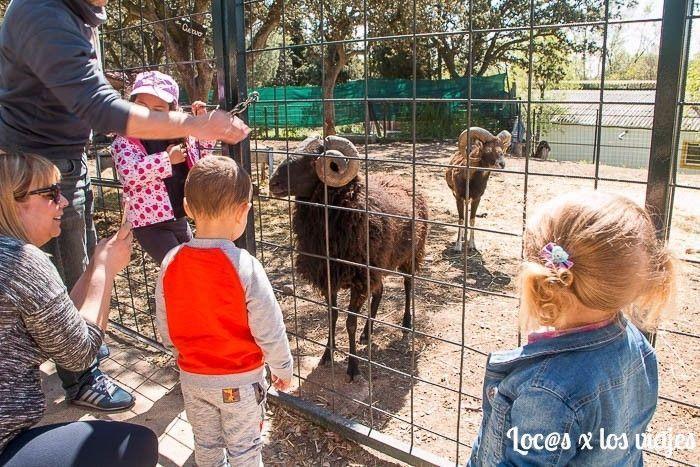 Observando los muflones en la Granja Escuela El Álamo