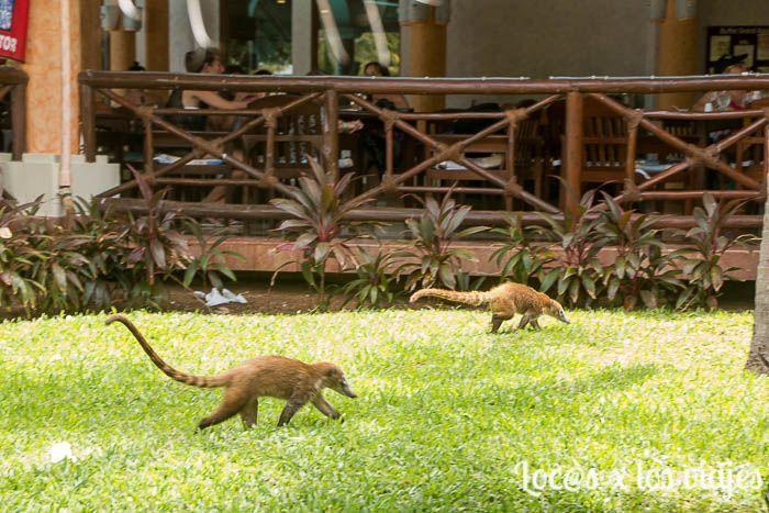Coatíes en Riviera Maya