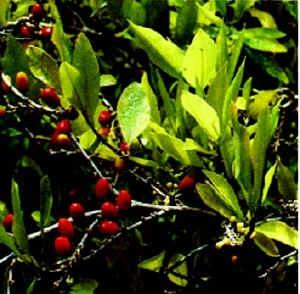 Bladeren en vruchten van de cocaplant