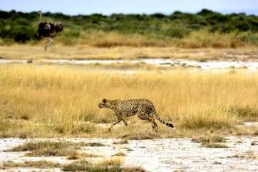 Cheetah in Amboseli National Park.gallery_image.2