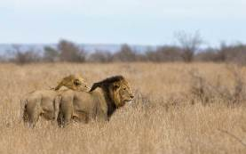Lions on patrol - Kruger NP - 22.10.2014 - screen