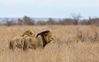 Lions on patrol - Kruger NP - 22.10.2014 - screen
