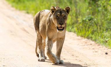 wildlife-classic-safari-outlook-safaris-lioness