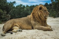 Living on Earth: The Lion in the Living Room