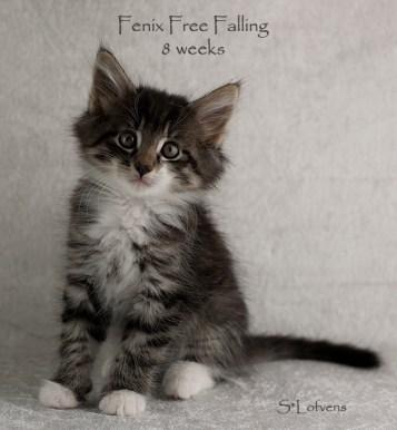 Fenix Free Falling, 8 weeks, male, NFO n 09 23