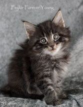 Feykir Forever Young, 7 weeks, male, NFO ns 23