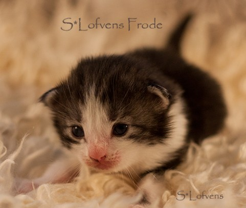 S*Lofvens Frode, 2weeks, Male NFO ns 09 22