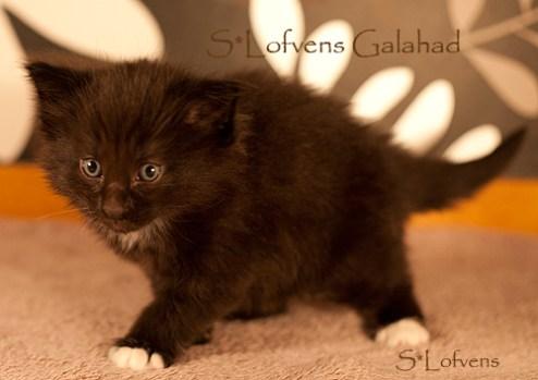 Galahad, 4 weeks, NFO n 09