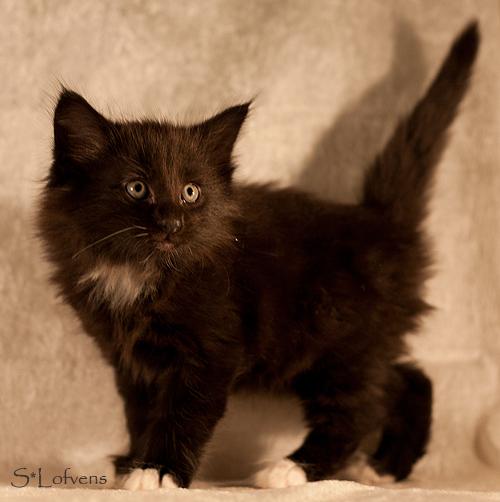 Galahad, 6 weeks, male, NFO n 09