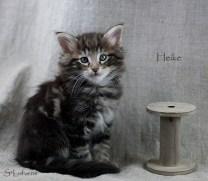 Heike Hidden Treasure, 7 weeks