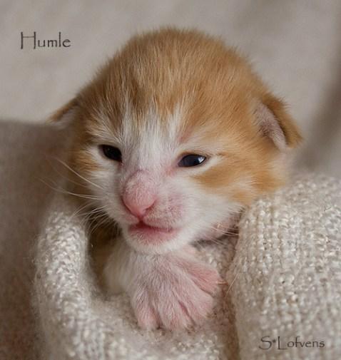 Humle 2 weeks, NFO d 09 22