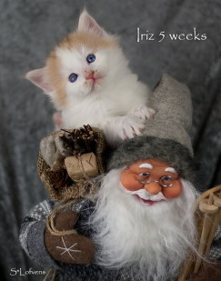 Iriz Iced Honey, 5 weeks, NFO d 03 22, blue-eyed, female