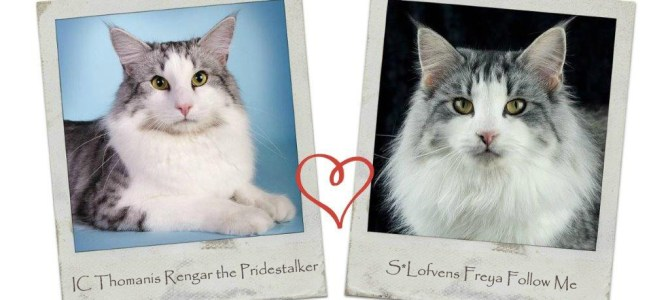 Vi väntar kattungar mellan Freya & Rengar!