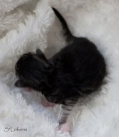 L-litter Male1 - Black silver spotted - white