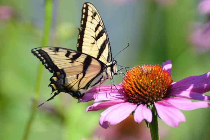 [Science] Butterfly numbers fell by one third in the US over last two decades – AI