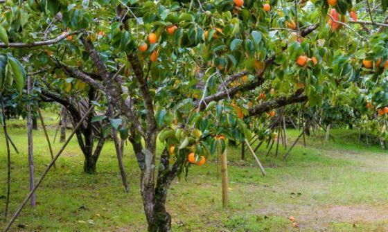 Peach Trees...