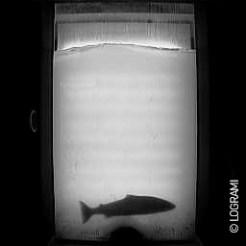 Saumon de 3 ans de mer