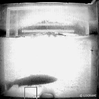 saumon ne passant pas 11/2/2019 - St Pourçain - 84 cm