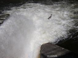 Saut de saumon bloqué au pied du barrage de Poutès en 2006