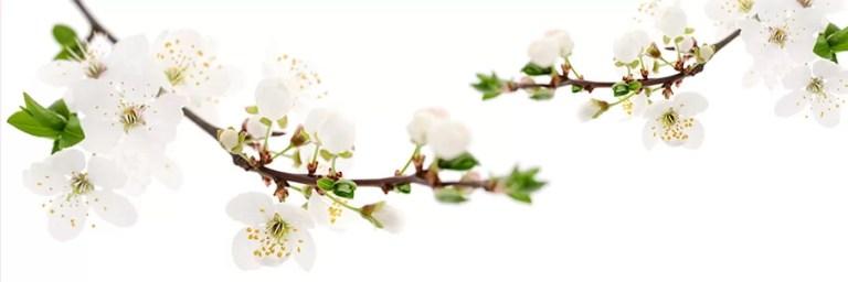 AdobeStock_kirsikkapuun_oksa_kukkia