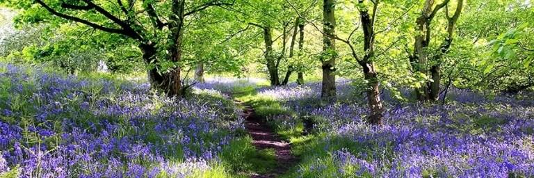 AdobeStock_kuva_kevät_metsäpolku_sinisiä_kukkia