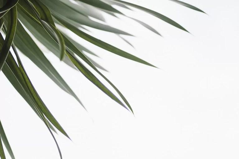 Unsplash_kuva_kasvin lehdet_valkoinen_tausta