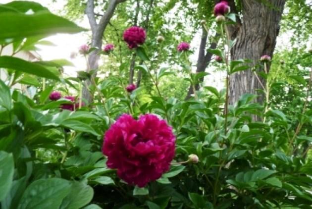 peony in garden