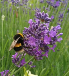 lavender-bumble-bee