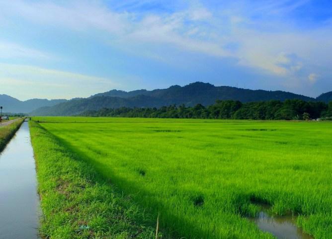 Balik Pulau paddy field