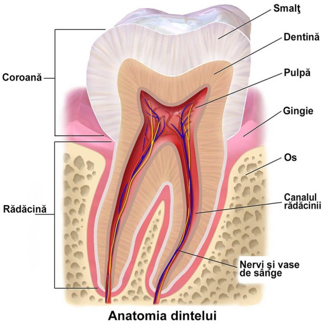 Crystal Dental Clinic, anatomia dintelui