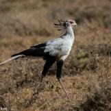 Sectretary bird (Sagittarius serpentarius)