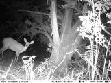 Adult female steenbok (Raphicerus campestris)