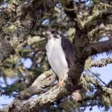 Augur buzzard (Buteo a. augur)