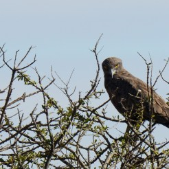 Brown_snake-eagle (Circaetus cinereus)