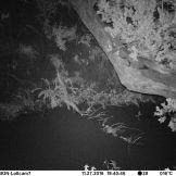 White-tailed mongoose (Ichneumia albicauda)