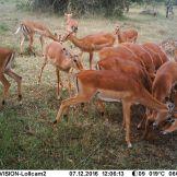 Impala Aepyceros melampus