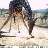 Reticulated giraffe (Giraffa reticulata)