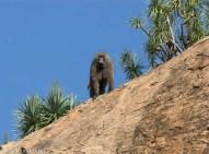 Olive baboon (Papio anubis), Lolldaiga Hills Ranch.
