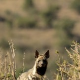Striped hyaena (Hyaena hyaena)