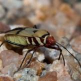 Cotton stainer (Dysdercus nigrofasciatus)