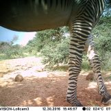 Grévy's zebras (Equus grevyi)